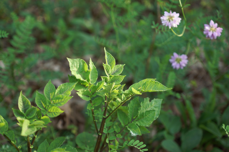 Perennial solutions to annual problems oikos tree crops ecos purple potato crownvetch izmirmasajfo